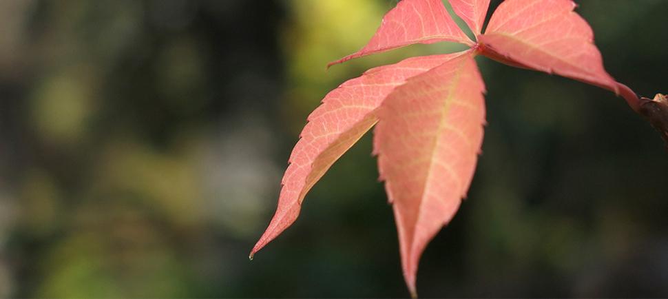 a.-leaf
